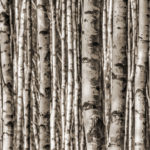 Birch Glass 36x96 (per set)